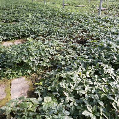 阿坝松潘野三七亩产多少 竹节参农业致富品种 竹节参经济效益