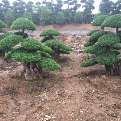 湖北京山对节白蜡树造型盆景小苗批发