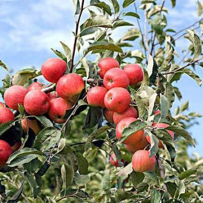 5公分苹果树价格6公分苹果树价格7公分苹果树价格