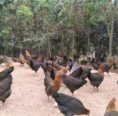 快大型乌鸡出售-冠牧源禽业(在线咨询)-昭通快大型乌鸡