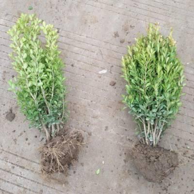 基地繁殖25公分-30公分高瓜子黄杨价格,30公分-40公分高瓜子黄杨价格