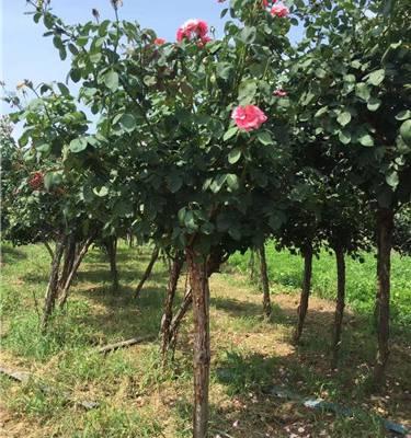 求购多年生月季树-天润月季-月季树