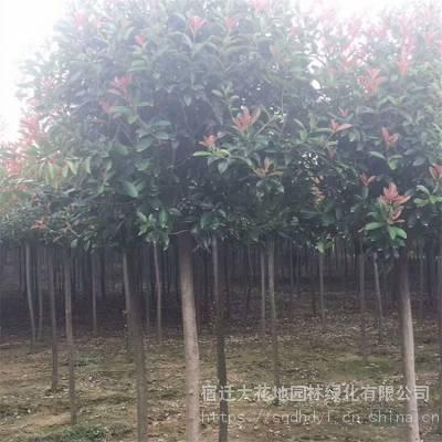 高杆红叶石楠树价格 石楠树基地报价表