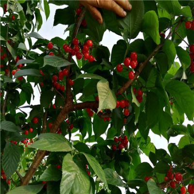 果苗基地直销玛瑙红樱桃苗,玛瑙红樱桃苗批发,零售
