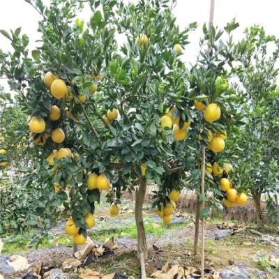 宁波地径六公分甜葡萄柚苗批发商价格