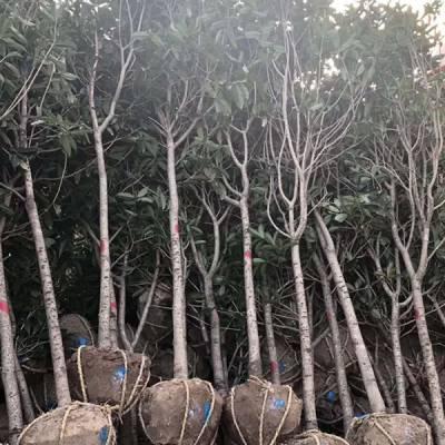广玉兰树规格全报价-广玉兰树规格全-绿海花木苗木种植批发