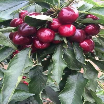 五公分樱桃苗报价 美早樱桃苗 矮化樱桃苗几年结果