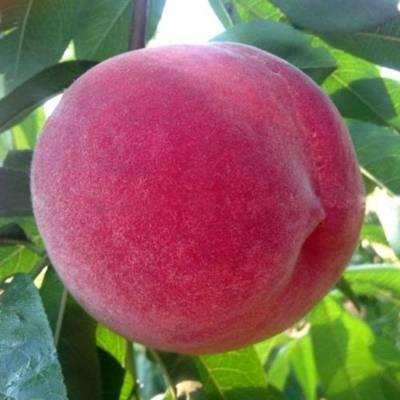 桃树苗品种 金秋红蜜桃树苗 2公分桃树苗