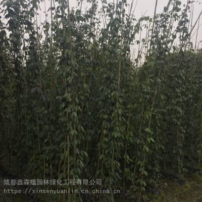 大量批发油麻藤基地 油麻藤1-2米的价格是多少 杯苗批发基地