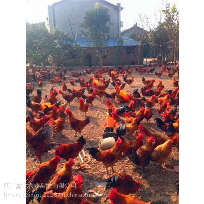 甘肃养殖3000只绿壳蛋鸡苗需要多少劳动力,优质鸡苗,可空运发货,价格从优