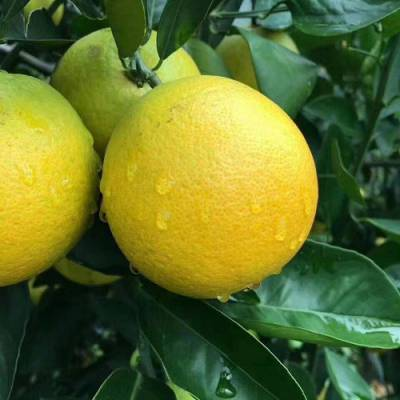 西双版纳甜橙礼盒-红彝褚橙批发-绿皮甜橙礼盒