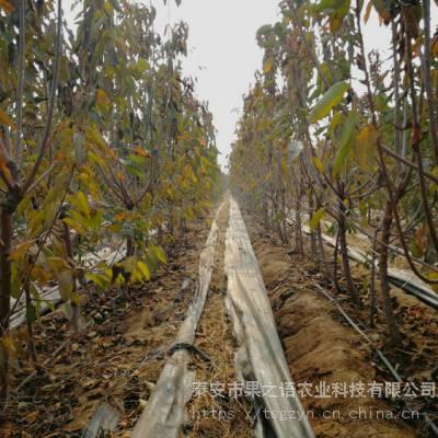俄罗斯8号樱桃树供应 俄罗斯8号樱桃树品种有多少价格