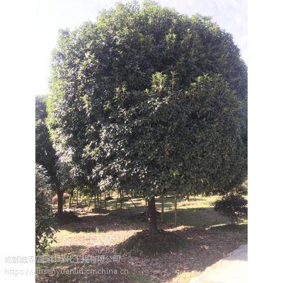 大量高杆桂花出售 高杆桂花10公分价格420元 贵州基地出售