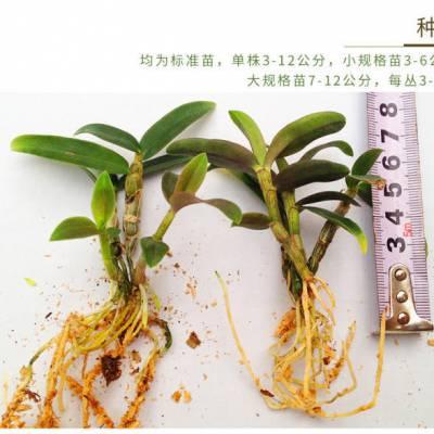 贵州原生态/仿野生铁皮石斛种苗批发出售 植株完整 成活率高