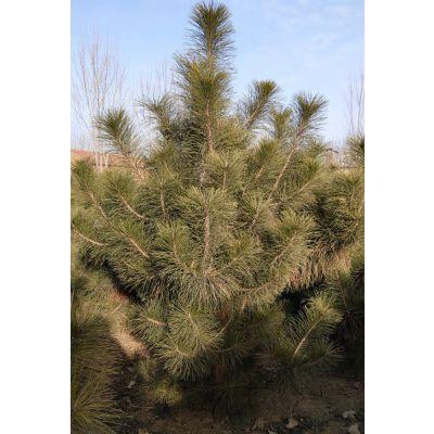 供应2-3米油松树苗树型优美落地冠北京基地现起苗免费带人工负责栽植油松树