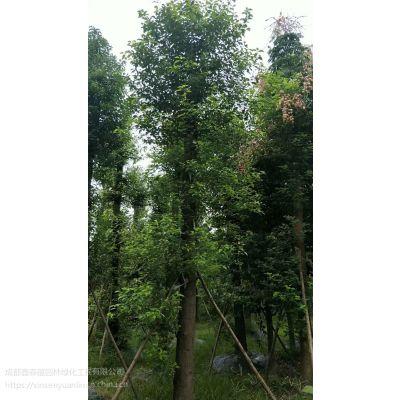 大量供应香樟 工程苗哦 四季都可以种植 棒子 全冠