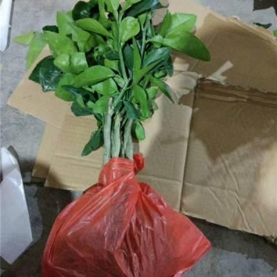 重庆台湾甜葡萄柚苗价格