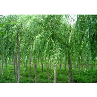 广东惠东大量出售柳树杯栽小苗 株高80cm柳树苗价格 绿化苗木
