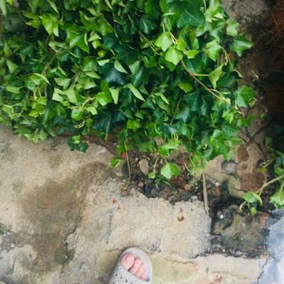 供应 常青藤 常春藤 长春藤 爬墙虎 小苗 高坡围栏棚架立体绿化 爬藤绿篱植物 苗圃直销