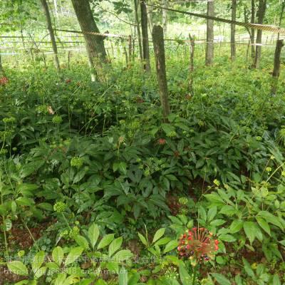 云南昆明东川竹节参行情野三七亩产多少野生和家种的区别