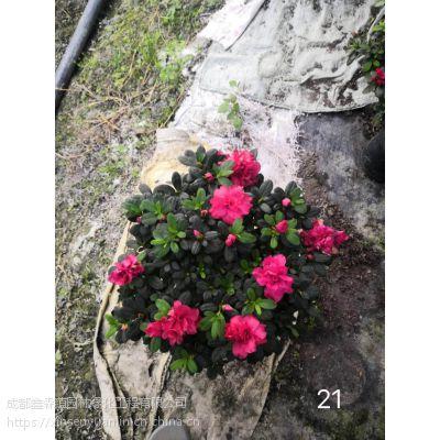 鑫森蕴园林大量出售13杯西洋鹃 质量好 大红色的花朵 颜色艳丽