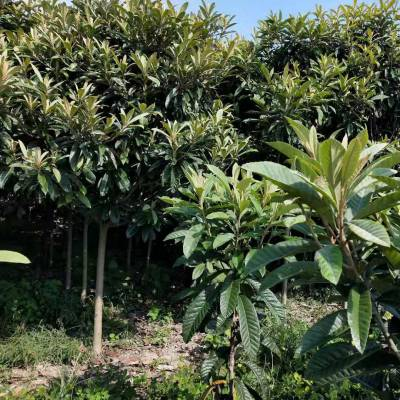 安徽枇杷树价格_安徽枇杷树苗木价格