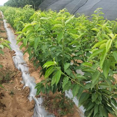 怎样培育樱桃苗-山东山清水秀生态农业-安徽樱桃苗