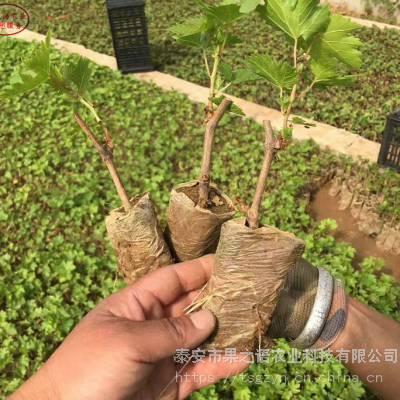紫甜无核葡萄树苗图片、紫甜无核葡萄树苗从哪里引进成熟期是几月