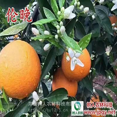 国外引进果脐特小脐橙苗_树人农林伦晚脐橙苗_抗病性脐橙苗批发价格