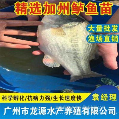 加州鲈鱼苗加州鲈鱼水花寸苗广东华夏水产出售