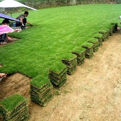 马尼拉草坪 湖北天门护堤绿化用的混播草坪批发价格 不二之选