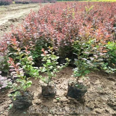 西安苗木基地-绿化技术指导-绿化苗木采购-绿化苗木产地
