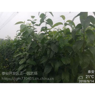 杜仲树苗多少钱一棵 优良品种 种类齐全 杜仲苗哪里有
