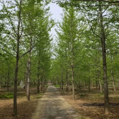 米径25公分银杏树多少钱-银杏树多少钱-美之枫苗木绿化