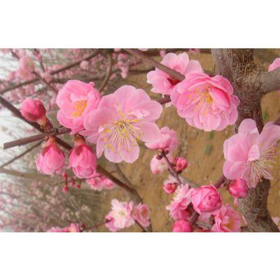 梅花-岱下花卉-梅花的品种