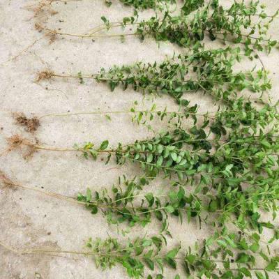 江苏沭阳繁育苗木市场 40公分 50公分高火棘价格,火棘小苗价格