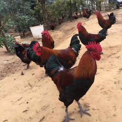 土杂鸡供应-冠牧源土鸡苗批发-德宏土杂鸡