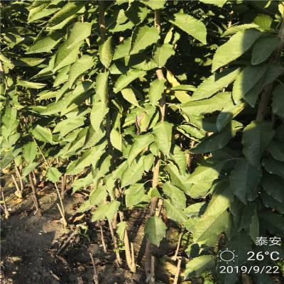 1年嫁接樱桃苗 嫁接樱桃苗一亩种多少 一年矮化樱桃苗 矮化樱桃苗品种纯正