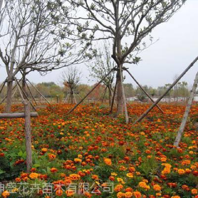 山东景区绿化花卉批发基地,景区绿化植物品种有哪些