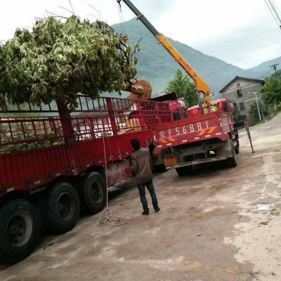 供应七叶树 陕西汉中货源 七叶树价格28CM到30CM大树 8000元起质量好价格低 规格齐全