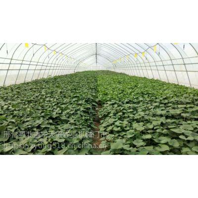 北京优质红薯苗济薯26红薯苗