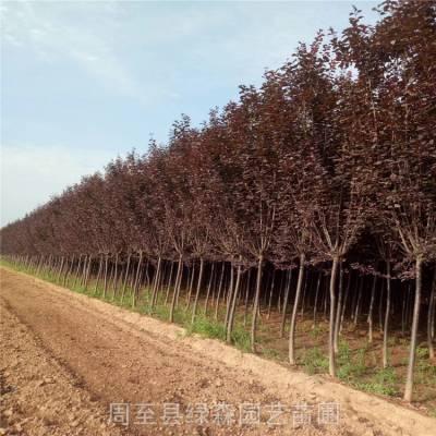 出售红叶李树苗 红叶李工程行道树 3-6工分特价红叶李批发