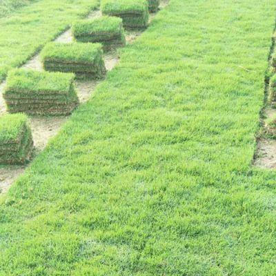 兰引3号草坪 福建南平生态旅游景点绿化用的草种草籽批发价格 低价销售