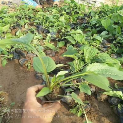松果菊_松果菊种子_松果菊价格种植基地一手供应