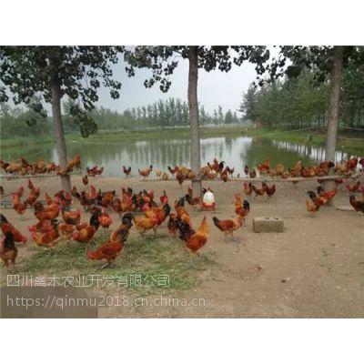 四川广元养殖鸡苗孵化厂联系方式,优质鸡苗,可空运发货,价格从优