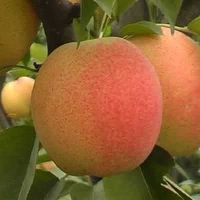 哪里能买到红梨树苗 条红梨树苗多少钱一株