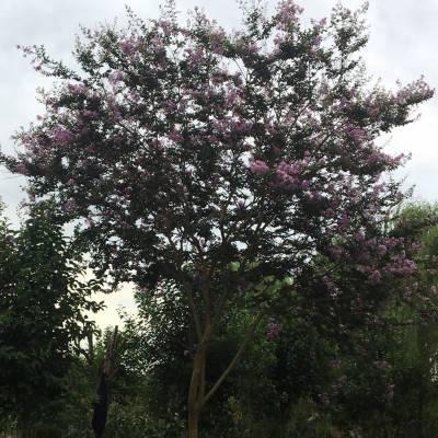 紫薇树小苗价格_紫薇树苗木价格