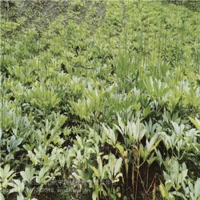 延安延川野三七种植技术 竹节参农业致富品种 竹节参怎么种植