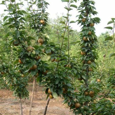 梨树价格7公分梨树价格8公分梨树价格9公分梨树价格10公分梨树价格