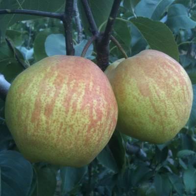 优质秋月梨树苗 黄金梨树苗适宜生长环境